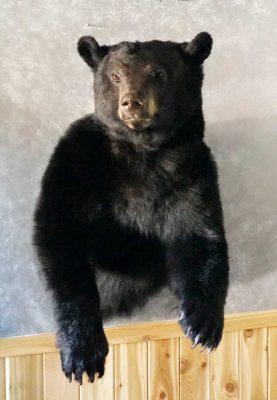 bear-shoulder-wall-mount-ray-wiens-taxidermist-merritt-bc