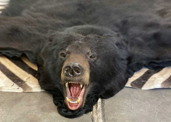 black-bear-rug-and-tanning-ray-wiens-taxidermy
