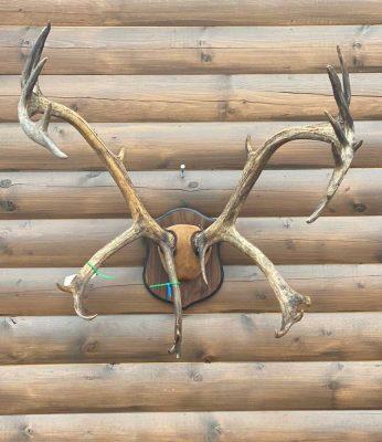 caribou-antlers-wall-rack