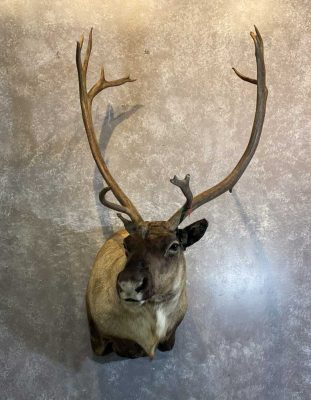 caribou-shoulder-mount-by-ray-wiens-merritt-bc-taxidermist