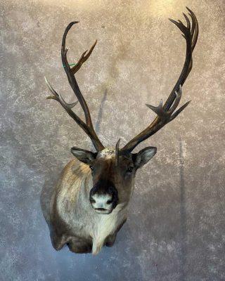 caribou-shoulder-mount-by-ray-wiens-merritt-bc-taxidermist3