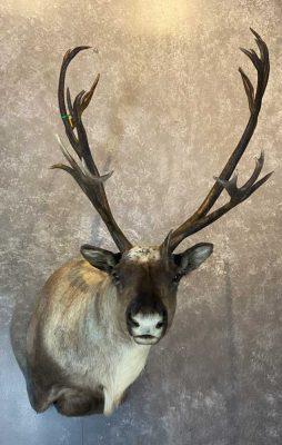 caribou-shoulder-mount-by-ray-wiens-merritt-bc-taxidermist4