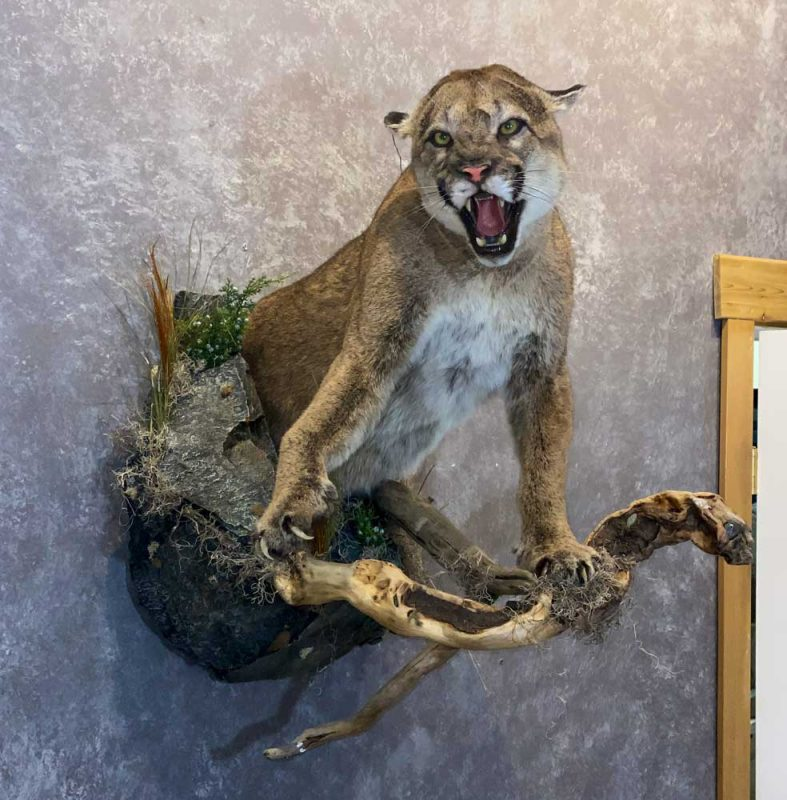 hissing-cougar-life-size-mount-ray-wiens-taxidermy with habitat