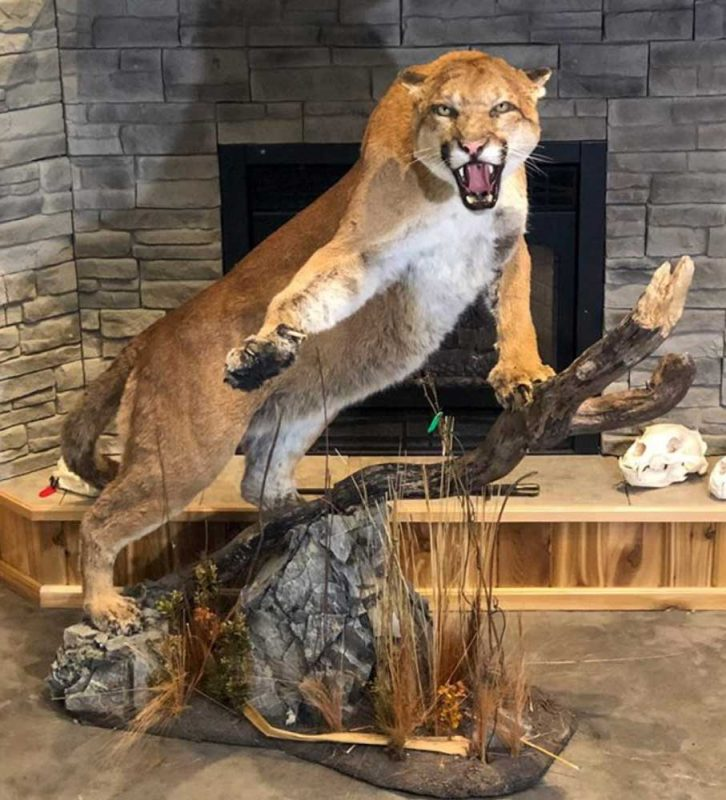 life-size-cat-floor-mount-ray-wiens-taxidermist-merritt-british-columbia