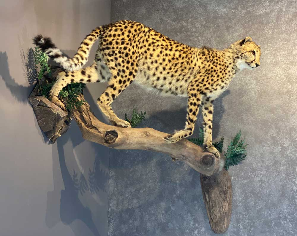 life-size-cheetah-wild-cat-taxidermy-british-columbia