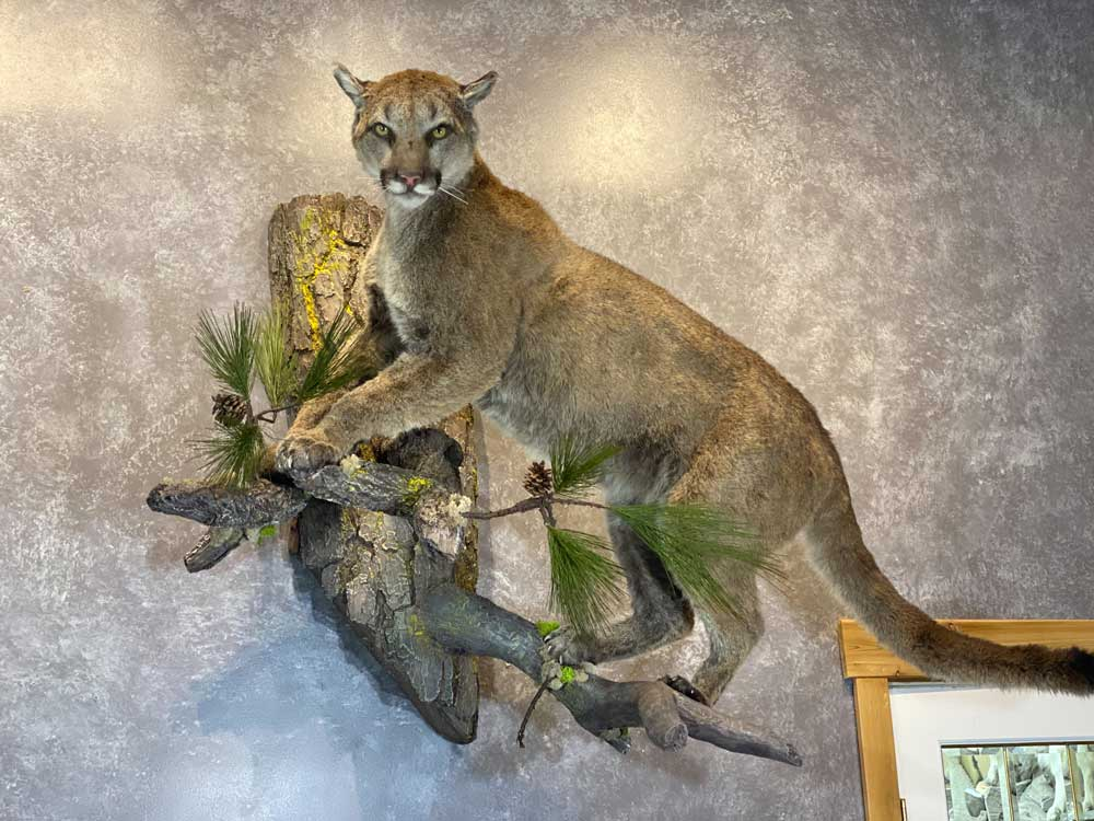 life-size-cougar-mount-ray-wiens-taxidermy