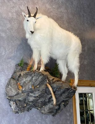 life-size-goat-mount-taxidermist-british-columbia