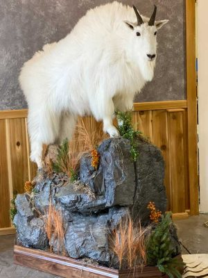 life-size-goat-mounted-by-ray-wiens-taxidermy-bc