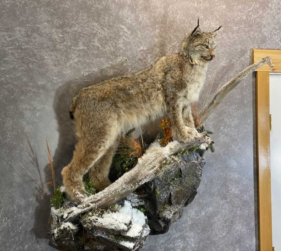 life-size-lynx-floor-mount-taxidermy-ray-wiens-british-columbia
