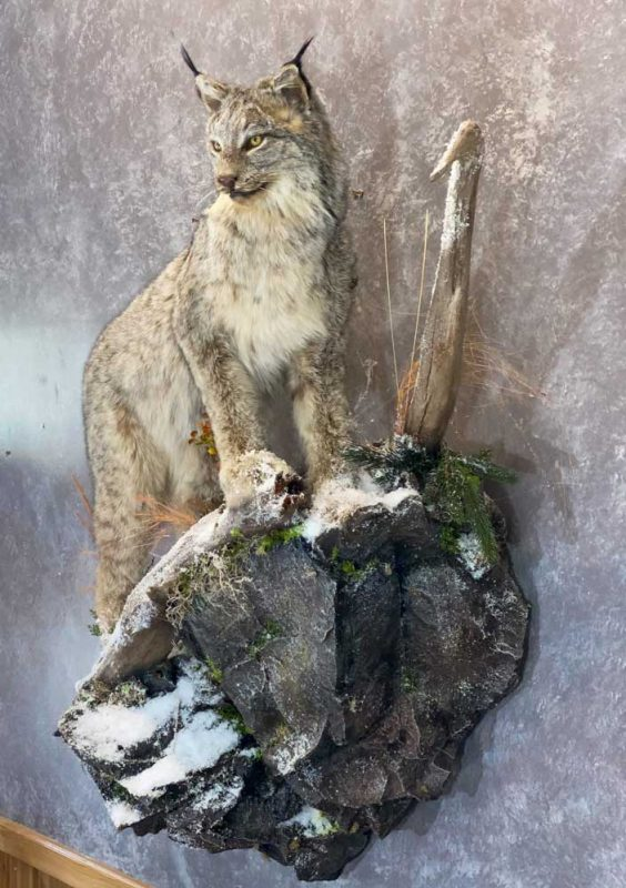 life-size-lynx-floor-mount-taxidermy-ray-wiens-british-columbia4