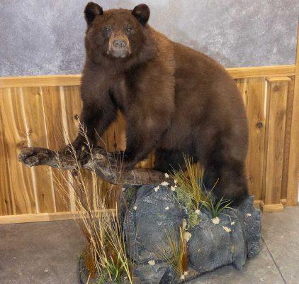 life-size-mount-bear-ray-wiens-taxidermy2