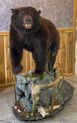 life-size-mount-black-bear-ray-wiens-taxidermy