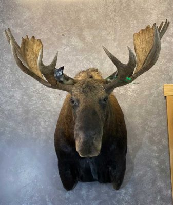 moose-shoulder-mount-ray-wiens-taxidermy-british-columbia