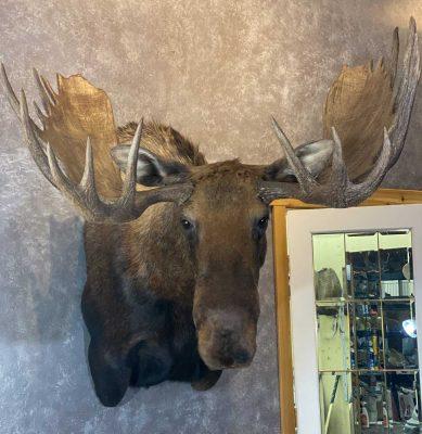 moose-shoulder-mount-ray-wiens-taxidermy