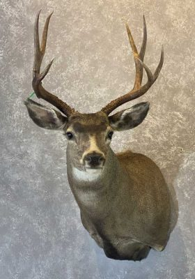 mule-deer-shoulder-mount-by-ray-wiens-taxidermist-merritt-bc-2a