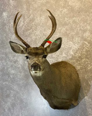 mule-deer-shoulder-mount-by-ray-wiens-taxidermist-merritt-bc