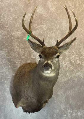 mule-deer-shoulder-mount-by-ray-wiens-taxidermist-merritt-bc2