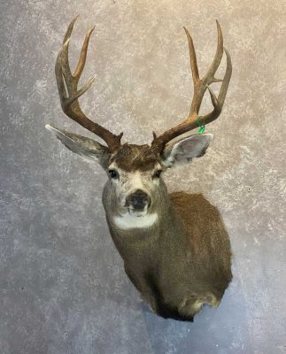 mule-deer-shoulder-mount-taxidermist-british-columbia2