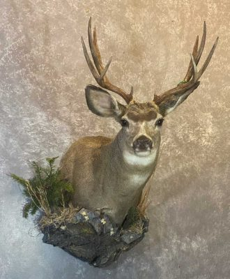 mule-deer-shoulder-mount-taxidermist-british-columbia