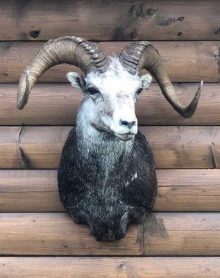 stones-sheep-shoulder-mount-ray-wiens-taxidermist-british-columbia