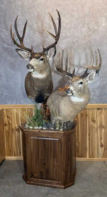 whitetail-&-mule-deer-shoulder-mount-ray-wiens-taxidermy