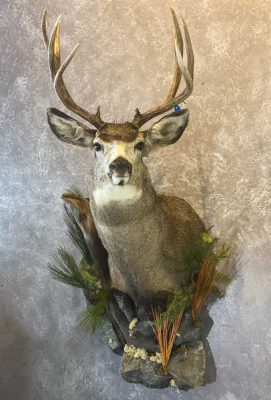 whitetail-shoulder-mount-ray-wiens-taxidermist-bc