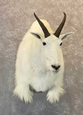wild-goat-shoulder-mount-ray-wiens-taxidermist