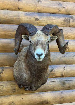 wild-sheep-shoulder-mount-ray-wiens-taxidermy